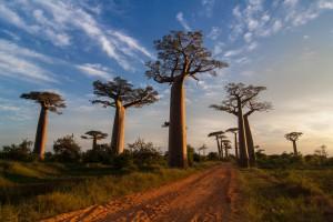 Landschaft mit Baobabs