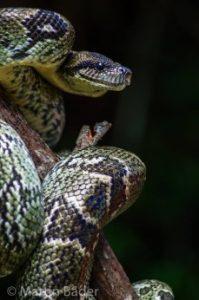 Boa auf Madagaskar