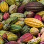 12709872-cabosses-de-cacao-d-39-ambanja-madagascar