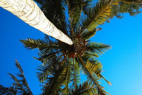 madagaskar palmen die bekanntesten palmenarten im. Black Bedroom Furniture Sets. Home Design Ideas
