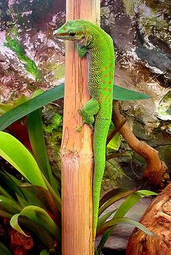 250px-Madagascariensis2