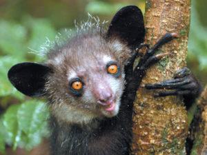 Aye Aye-das gespenstige Fingertier aus Madagaskar