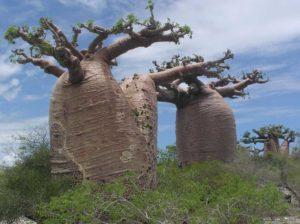 Adansonia-grandidieri