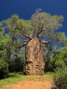 Baobab Bader