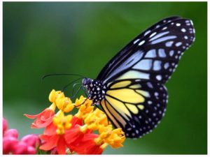 Butterflies_wallpapers_277