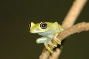 Frosch in Andasibe