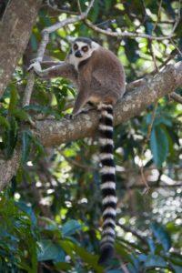 Katta Lemur Anja