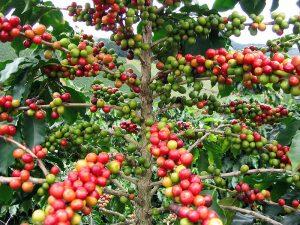 Kaffee aus Madagaskar