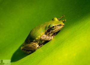 Frosch auf Madagaskar