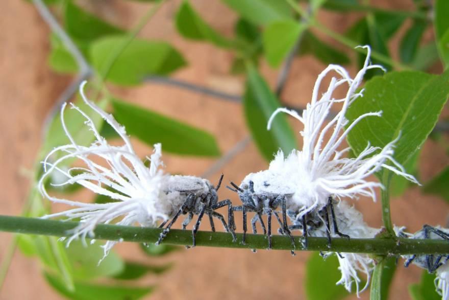 Madagascar_Flatid_Leaf_Bug_Nymph