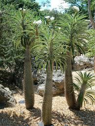 Madagaskar Palme