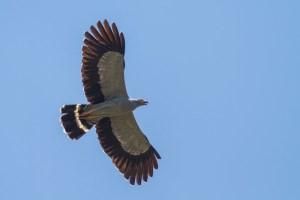 Madagaskar_Harrier_Hawk_300_x_200