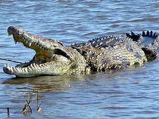 Nile-Crocodile