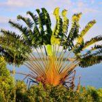Ravinala Madagascariensis