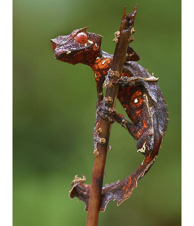 Satanic-Leaf-taile_1870679i
