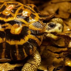 Schildkröte_Madagaskar