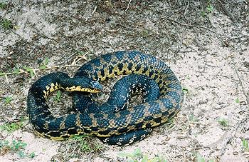 Madagascan hognose snake. Leioheterodon madagascariensis. Maroantsetra. Madagascar.