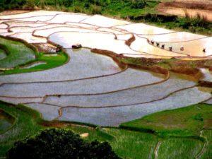 Reisfelder betafo