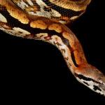 Schlangen auf Madagaskar