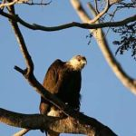 fish_eagle_Bemarivo