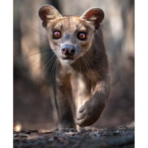 fossa-close-up_1794477i