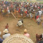 Zebu Stierkämpfe im madagassischen Bush