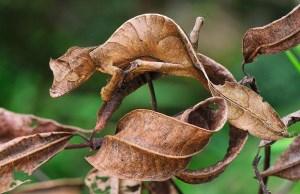 Blattgecko in Andasibe