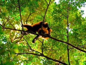 lemuren Masoala