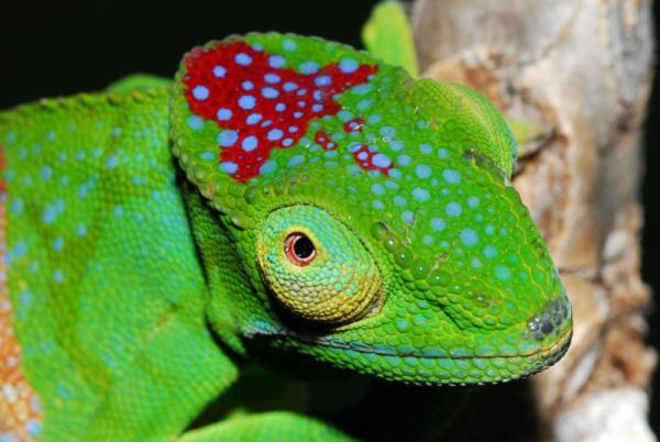 madagascar-chameleon-110605