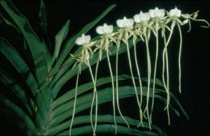 Orchidee Madagaskar