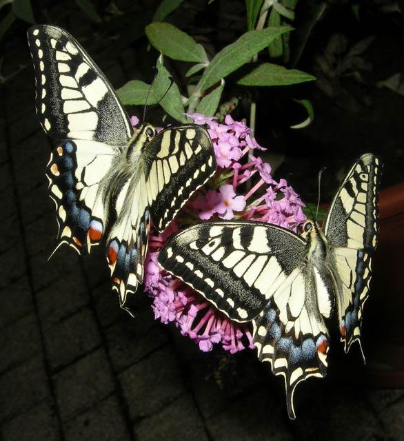 papillon-41