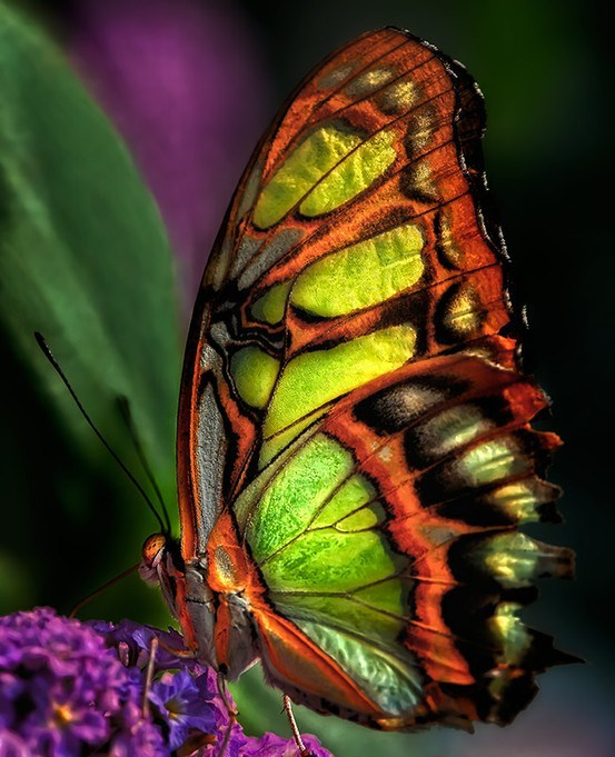 papillon-malachite