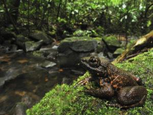 Frosch in Masoala