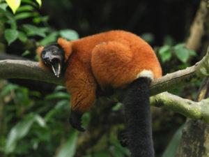 thomas-marent-red-ruffed-lemur-varecia-variegata-ruber-masoala-madagascar