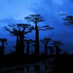 Baobabs bei Nacht