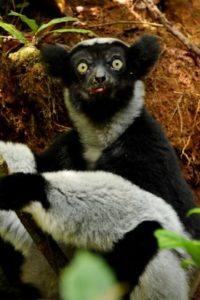 Indri-Indri