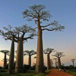 Baobab Allee Morondava