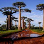 Affenbrot Bäume Morondava