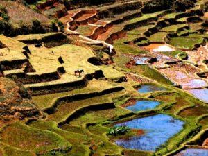 riziere_paysage_vache_vert_madagascar_plantation_etage