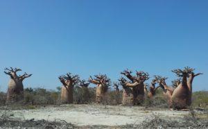 Gruppe von Baobabs