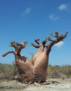 Baobabs auf Madagaskar