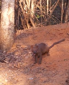 Fosa in Kirindy