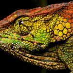 Female chameleon (Calumma sp.) – Copie