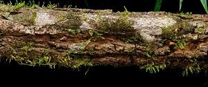 Leaf-tailed gecko (Uroplatus sikorae)