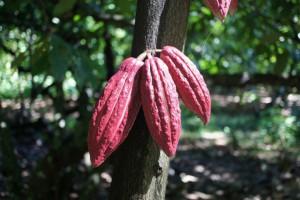 Kakao aus Sambirano