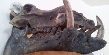 Zwergflusspferd Schädel