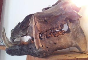 Flusspferd Madagaskar