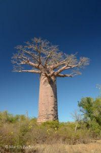Baobab Westküste Madagaskar
