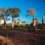 Baobab Pracht der Pisten