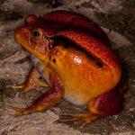 Frösche – Amphibien aus Madagaskar – Teil 2